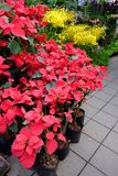 Red Poinsettia flower. Outdoor red Poinsettia sales in street market, Bangkok, Thailand stock image