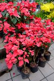 Red Poinsettia flower. Outdoor red Poinsettia sales in street market, Bangkok, Thailand royalty free stock photos