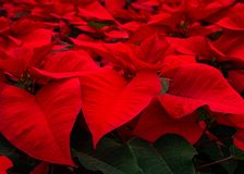 Red poinsettia flower petals. Close up view red Christmas Poinsettias royalty free stock photography