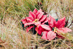 Red poinsettia flower on pine tree Stock Image