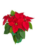 Red poinsettia in a flower pot Royalty Free Stock Image