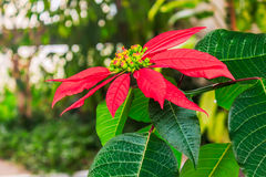 Red poinsettia flower Stock Image