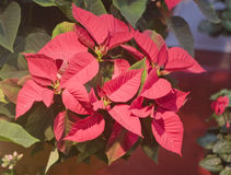 Red Poinsettia Flowers. A plant of red Poinsettia flowers and green leaves royalty free stock image