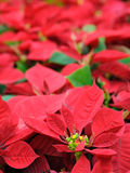 Red poinsettia flowers Royalty Free Stock Photos