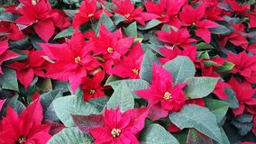 Red poinsettia flowers background. Red poinsettia flowers as background royalty free stock images
