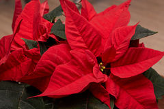 Red Poinsettia flowers. Stock Photos