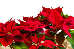 Red poinsettia flowers in bloom Stock Photography