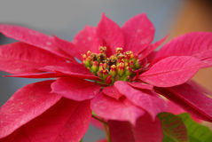 Red Poinsettia Flowers on Christmas Stock Photography