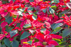 Red poinsettia flowers or christmas star Stock Photos