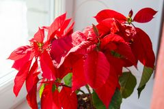 Beautiful poinsettia in flowerpot. Red christmas flower on the windowsill. Christmas star. royalty free stock photography