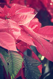 Red poinsettia flowers Stock Image