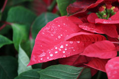 Red poinsettia flowers Royalty Free Stock Photography