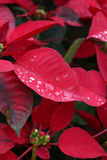 Red poinsettia flowers. Stock Photo