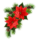 Red poinsettia flowers and fir-tree branches. Red poinsettia flowers and Christmas tree branches isolated on white background. Holiday arrangement. Flat lay. Top stock photo