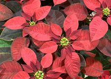 Red poinsettia flowers royalty free stock photo