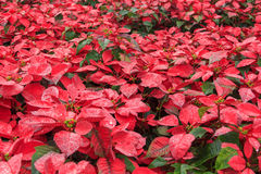 Red poinsettia garden. With green leaves - christmas flower Stock Photography