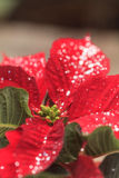 Red poinsettia holiday flower Stock Images