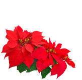 Red poinsettia Stock Photos