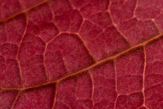 Red Poinsettia leaf Royalty Free Stock Photography