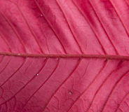 Red poinsettia leaf - back side. Detailed photo of a red poinsettia leaf - back side Royalty Free Stock Photography