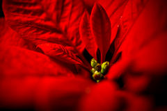 Red poinsettia leaves against black background stock photography