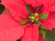 Red Poinsettia Leaves. On The Ground stock photos