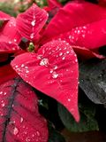 Red poinsettia leaves. With droplets of water royalty free stock image