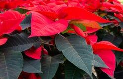 Red poinsettia petals CloseUp. Christmas flowers. Red euphorbia plants. Horizontal royalty free stock photo
