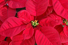 Red poinsettia plant Royalty Free Stock Image