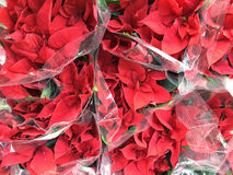 Red Poinsettia plant Stock Image