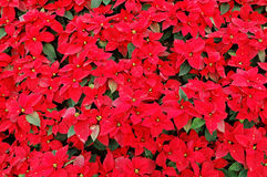 Red poinsettia plants Stock Images