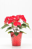 Red Poinsettia Portrait Royalty Free Stock Images