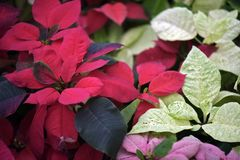 The red of the poinsettia standing out in the garden. Poinsettia; Euphorbia pulcherrima; manha de pascoa; bico-de-papagaio; rabo-de-arara; papagaio; cardeal Royalty Free Stock Image