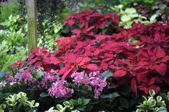 The red of the poinsettia standing out in the garden. Poinsettia; Euphorbia pulcherrima; manha de pascoa; bico-de-papagaio; rabo-de-arara; papagaio; cardeal Stock Photos