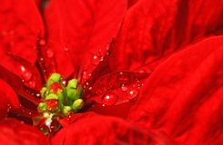 Red poinsettia with water droplets. For christmas royalty free stock photos