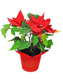 Red poinsettia on white background Stock Image