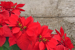Red poinsettia on wooden background stock photography