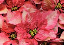 Red poinsettias Royalty Free Stock Image