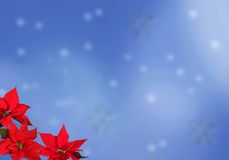 Red poinsettias background Stock Photo