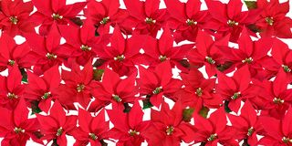 Red Poinsettias - Background Stock Images