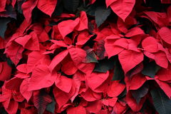 Red Poinsettias. Background of Red and Green Poinsettias Royalty Free Stock Images
