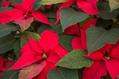 Red poinsettias in bloom Royalty Free Stock Images