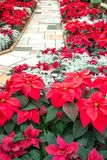 Red poinsettias on a brick path. Beautiful Christmas red poinsettias along a brick path royalty free stock image