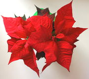 Red poinsettias Christmas flower Royalty Free Stock Image
