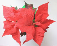 Red poinsettias Christmas flower Stock Photography