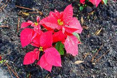 Red Poinsettias Christmas flower. And morning dew stock photo