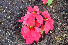 Red Poinsettias Christmas flower. And morning dew royalty free stock photos