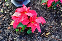 Red Poinsettias Christmas flower. And morning dew royalty free stock photography