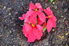 Red Poinsettias Christmas flower. And morning dew stock photography