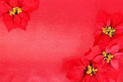 Red Poinsettias flower Stock Photo